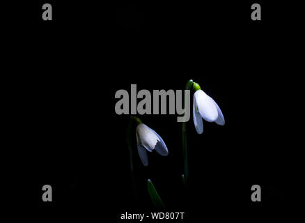 Close-up Of White Flowers Blooming Against Black Background - Stock Photo