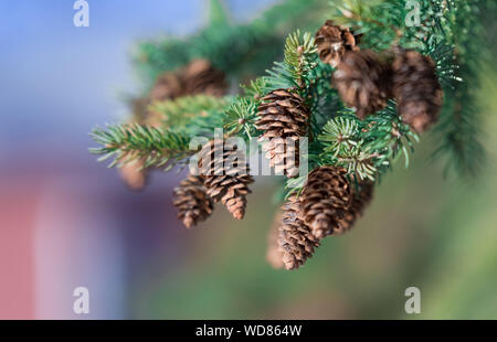 Small brown fir ones on a branch of a pine tree - Stock Photo