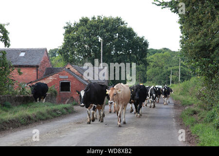 Dairy cows walking to be milked, along the A529 north of Hinstock, Shropshire, holding up traffic - Stock Photo