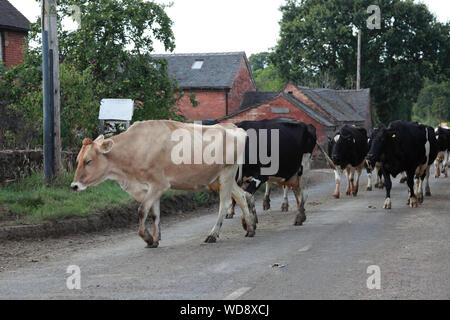 Dairy cows walking to be milked along the A529 north of Hinstock, Shropshire, holding up traffic - Stock Photo