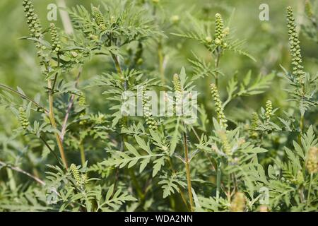 Ragweed closeup, common allergy plant - Stock Photo