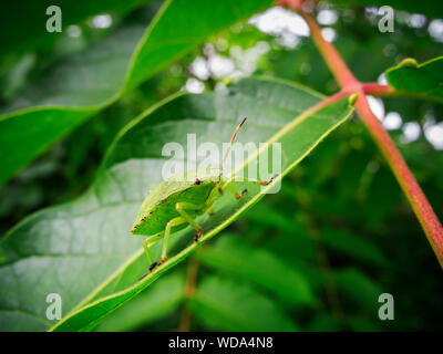 Full-length side view of a single green stink bug (lat: Palomena prasina) sitting on a leaf. - Stock Photo