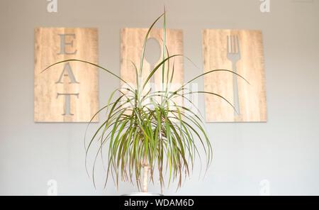 Decorative Dracaena 'Marginata' plant ('Madagascar Dragon Tree') in a dining room table - Stock Photo