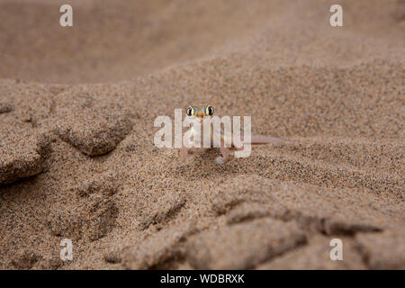 Portrait Of Namib Web-footed Gecko On Sand At Desert - Stock Photo