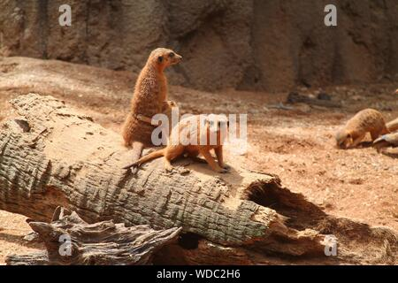 High Angle View Of Meerkats At Zoo - Stock Photo