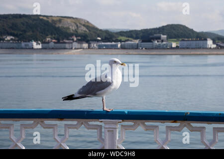 Herring Gull Larus argentatus perching on a railing at Llandudno pier with the north shore and Little Orme in the background - Stock Photo