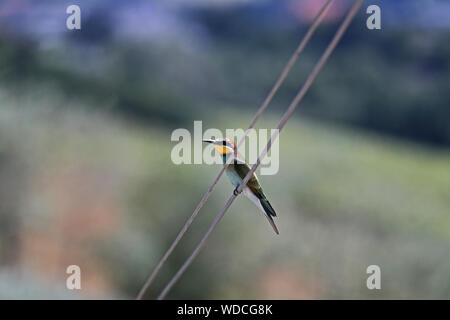 European or African bee eater or bee-eater Latin merops apiaster family meropidae gruccione perched on a telephone wire in early summer in Italy - Stock Photo