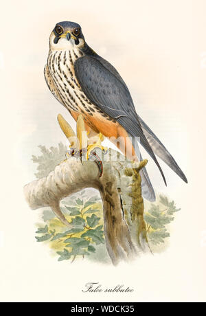 Little bird of prey on a branch after the hunting. Old colorful and detailed illustration of Eurasian Hobby (Falco subbuteo). By John Gould publ. In London 1862 - 1873 - Stock Photo