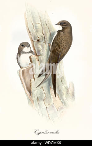 Couple of brown birds on a bark looking for a den. Old colorful and detailed isolated illustration of Alpine Swift (Tachymarptis melba). Graphic composition by John Gould publ. In London 1862 - 1873 - Stock Photo
