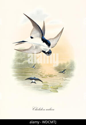 Two black and white birds fighting up on the air over a pond. Sunset color vintage illustration of Common House Martin (Delichon urbicum). By John Gould publ. In London 1862 - 1873 - Stock Photo