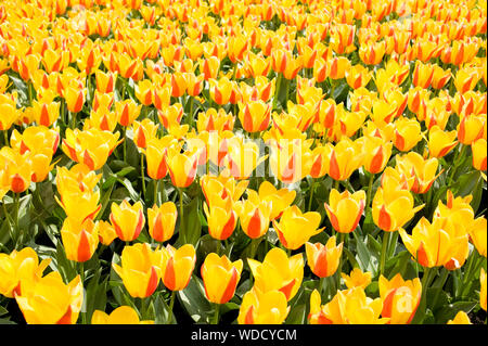 Plenty yellow and red Stresa tulips abloom in ornamental garden. Plants blooming in Poland. - Stock Photo