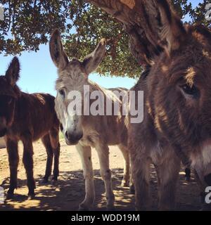 Close-up Of Donkeys - Stock Photo