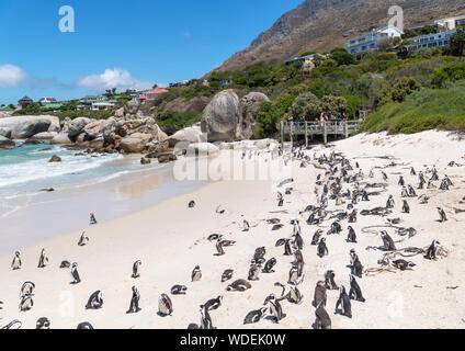 Colony of African Penguins (Spheniscus demersus) at Boulders Beach, Simon's Town, Cape Town, Western Cape, South Africa - Stock Photo