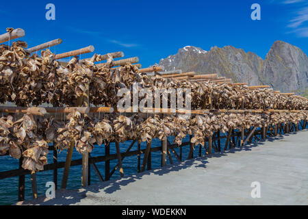 Traditional Drying cod heads drying on traditional wooden racks in Lofoten Islands  Fishing Village Hamnoy, Lofoten, Norway.   Heads of dried fish  - - Stock Photo