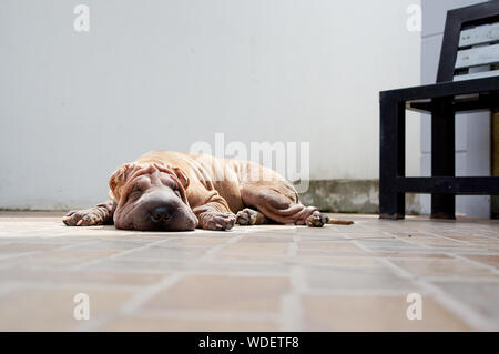 Chinese Shar-pei Sleeping On Floor - Stock Photo