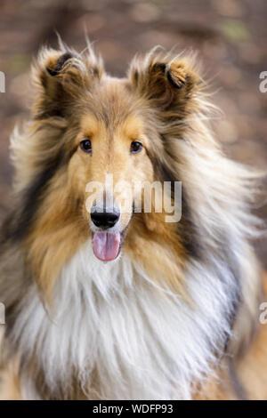 Shetland Sheepdog (AKA Sheltie) Tri Color Male Portrait - Stock Photo