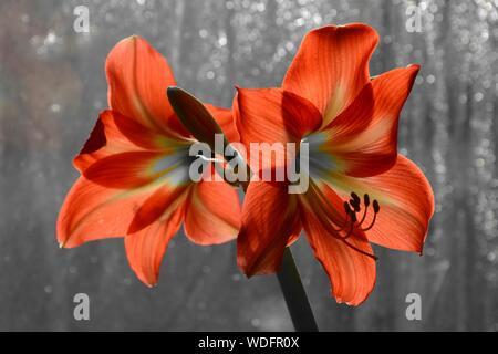 Close-up Of Orange Amaryllis Flowers - Stock Photo