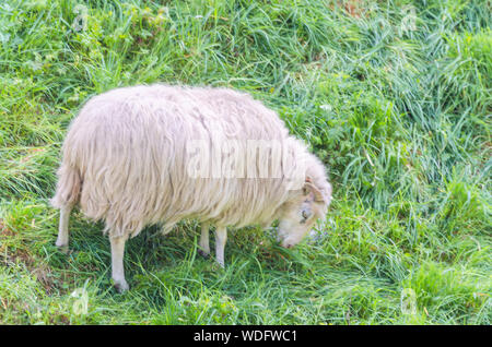 Graze sheep with horns on a green meadow at - Stock Photo