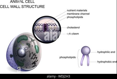 vector illustration of an animal cell. cell wall structure - Stock Photo