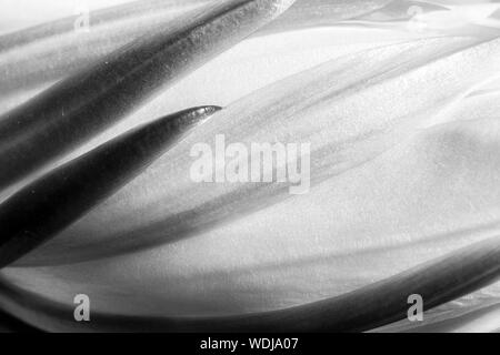 Black and white abstract detail of a night blooming cactus flower.  Curves and lines in nature macro. - Stock Photo