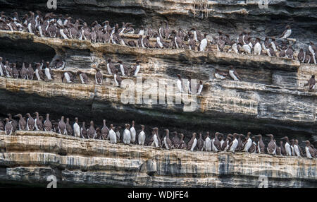 Uria aalge - Common Guillemots (or Common Murres) standing in a dense colony along ledges on cliff face. - Stock Photo