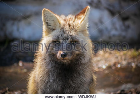 A Cascade Red Fox stares into the camera in Mount Rainier National Park, WA - Stock Photo