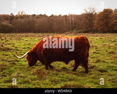 Highland Cattle On Grassy Field - Stock Photo