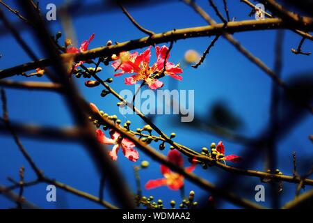 Close-up Of Pink Cherry Blossoms Against Blue Sky - Stock Photo