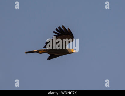 African Harrier Hawk (Polyboroides typus) in flight in The Gambia West Africa. - Stock Photo