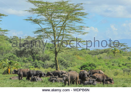 Herd of African or Cape buffalo pictured in green grassland of the Arusha National Park, Tanzania, Africa. The buffalo is part of the Bid five.  . - Stock Photo
