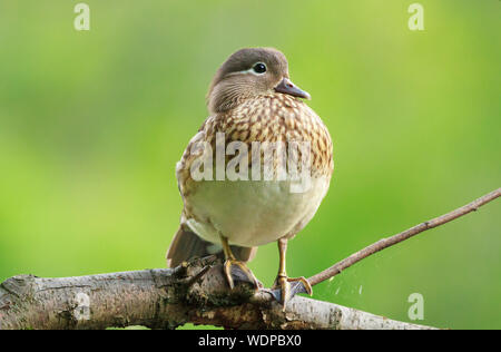 Close-up Of Female Mandarin Duck Perching On Tree - Stock Photo