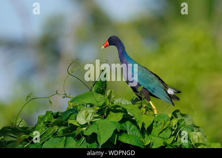 The purple gallinule is a swamphen in the genus Porphyrio. It is in the order Gruiformes, an order which also contains cranes, rails. - Stock Photo