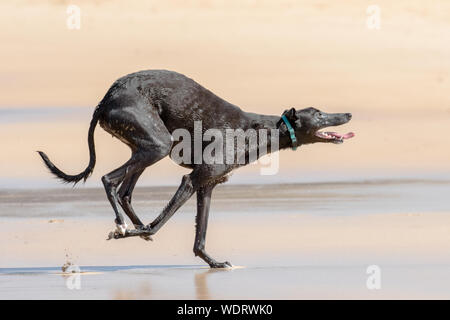 Greyhound dog running on the beach - Stock Photo