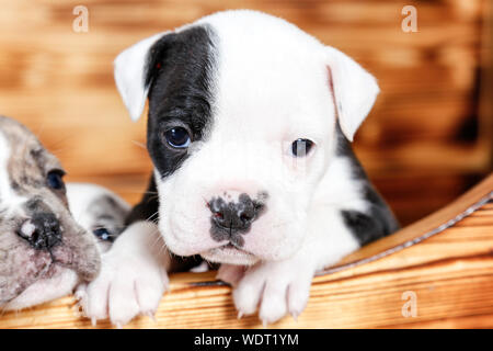 Close-up Portrait Of English Bulldog Puppy In Wooden Box - Stock Photo