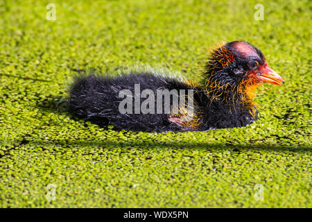 A newly hatched American coot, Fulica americana, swimming in a duckweed covered pond in central Alberta, Canada - Stock Photo