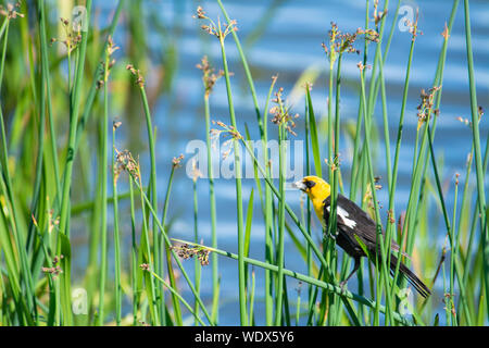 A yellow-headed blackbird, Xanthocephalus xanthocephalus, perched in reeds beside a pond in central Alberta, Canada - Stock Photo
