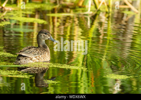 Female blue-winged teal, Anas discors, on a pond in central Alberta, Canada. - Stock Photo