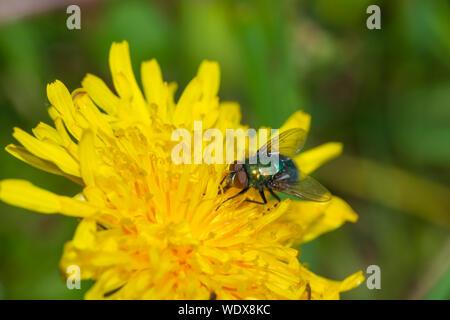 A common green bottle fly,Lucilia sericata, taking nectar from a dandelion in central Alberta, Canada - Stock Photo
