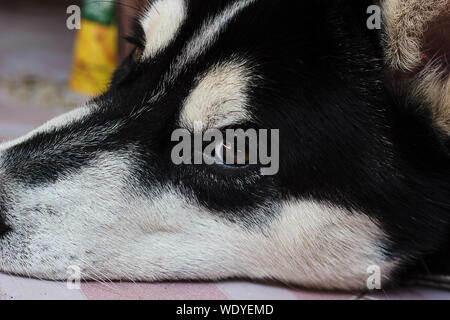 Close up funny black Siberian Husky face . The Siberian Husky is a medium size working dog breed that originated in north-eastern Siberia, Russia. Sib - Stock Photo