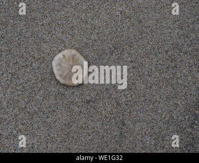 Sand dollar on tan sand on the beach in Danang Vietnam. Photographed from above. - Stock Photo