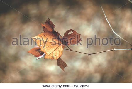 Close-up Of Maple Leave During Autumn - Stock Photo