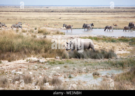 Rhinoceros with two tusks and herd of zebras and impala antelopes in Etosha National Park, Namibia drink water from the lake safari in Southern Africa - Stock Photo