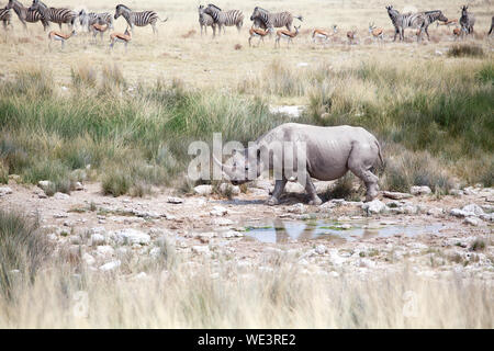 Rhinoceros with two tusks in Etosha National Park, Namibia goes to drink water on herd of zebras and impala antelopes background close up, Africa - Stock Photo