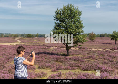Woman making pictures of Dutch blooming purple heath - Stock Photo
