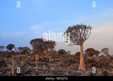 Quiver trees forest on blue sky background, african landscape in Keetmanshoop, Namibia, Southern Africa - Stock Photo