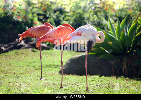 Three beautiful flamingos, two pink flamingos and one white flamingo stand in row on one leg on green grass and blurred trees background, South Africa - Stock Photo