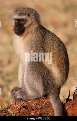 Vervet Monkey Sitting On Wood - Stock Photo