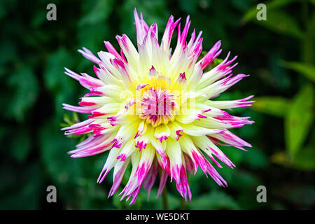 Close-up beautiful fresh pink-yellow dahlia flower on a background of grass growing in a home garden, top view - Stock Photo
