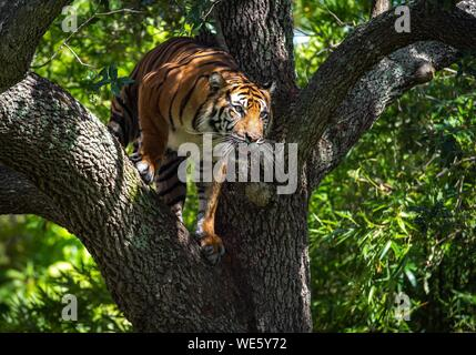 Low Angle View Of Tiger On Tree In Forest - Stock Photo