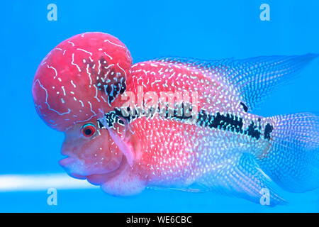 Flowerhorn Cichlid Colorful fish swimming in fish tank. This is an ornamental fish that symbolizes the luck of feng shui in the home - Stock Photo